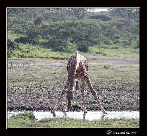 Girafe_relève_la_tête_de_l'eau_bis_-_C