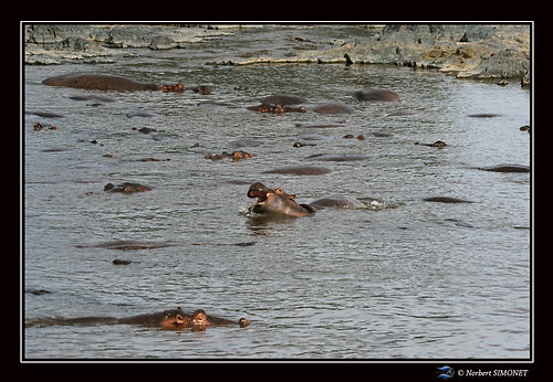 Hippopotames flottent 2 - Cadre Paysage