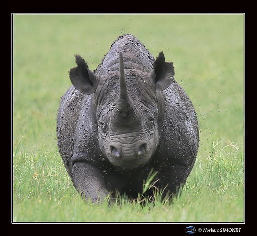 Rhinocéros_marche_face_-_Cadre_Carré__