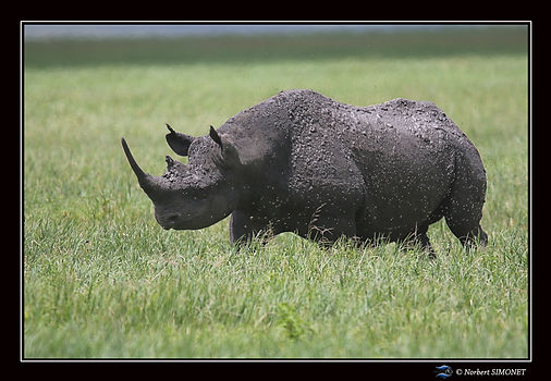 Rhinocéros_marche_profil_-_Cadre_Paysag