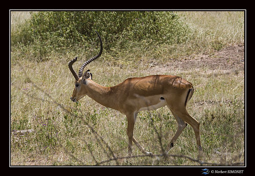 Impala - Cadre Paysage - Serengeti 24022