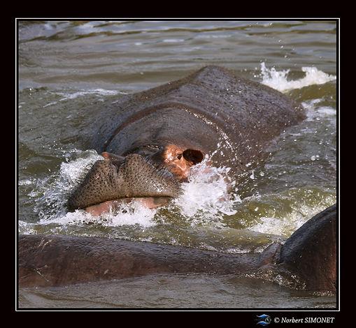 Hippopotame entier face - Cadre Carré -