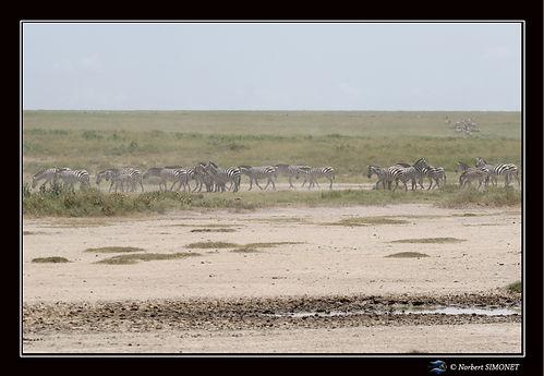 Grande_migration_zèbres_4_-_Cadre_Paysa