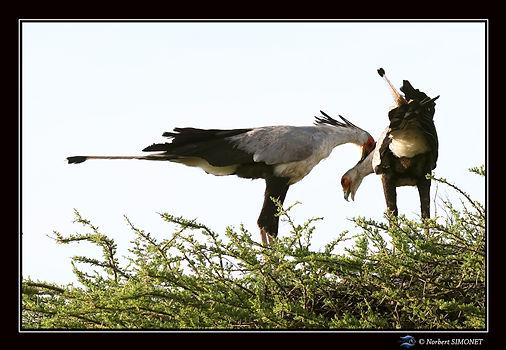 Serpentaires couple sur un arbre 3 - Cad