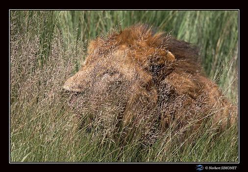 Lion dans les herbes 1 - Cadre Paysage -