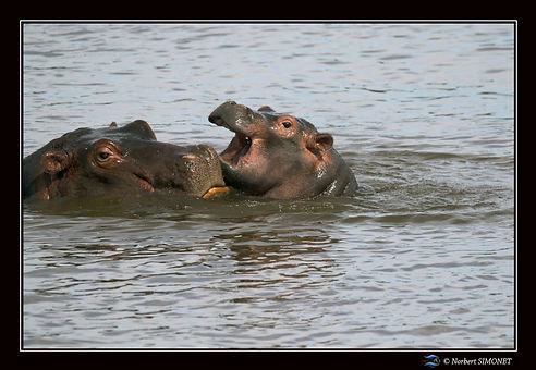 Hippopotame mère et petit 2 - Cadre Pays