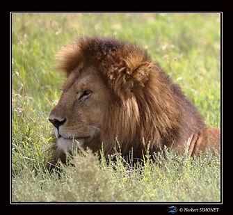 Lion_profil_-_Cadre_Carré_-_Serengeti_2