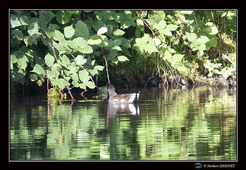 Poule d'eau bis - Cadre Paysage - Les Butineuses 28072021.jpg