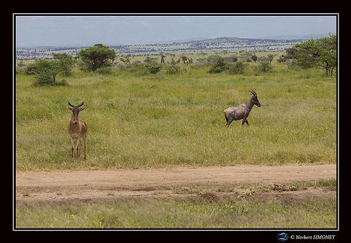 Bubale et Topi - Cadre paysage - Serenge