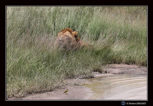 Lion_entier_couché_dans_les_herbes_-_Ca