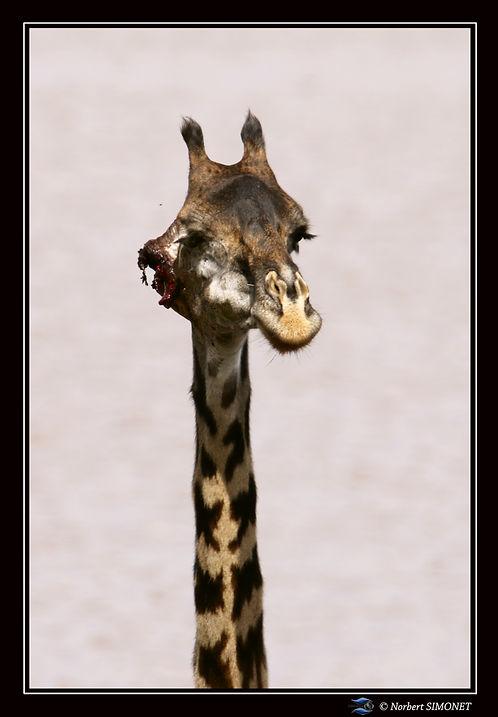 Girafe_tête_GP_oreille_déchiquetée_-_