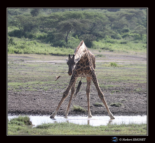 Girafe_boit_et_oiseau_-_Cadre_Carré_-_P
