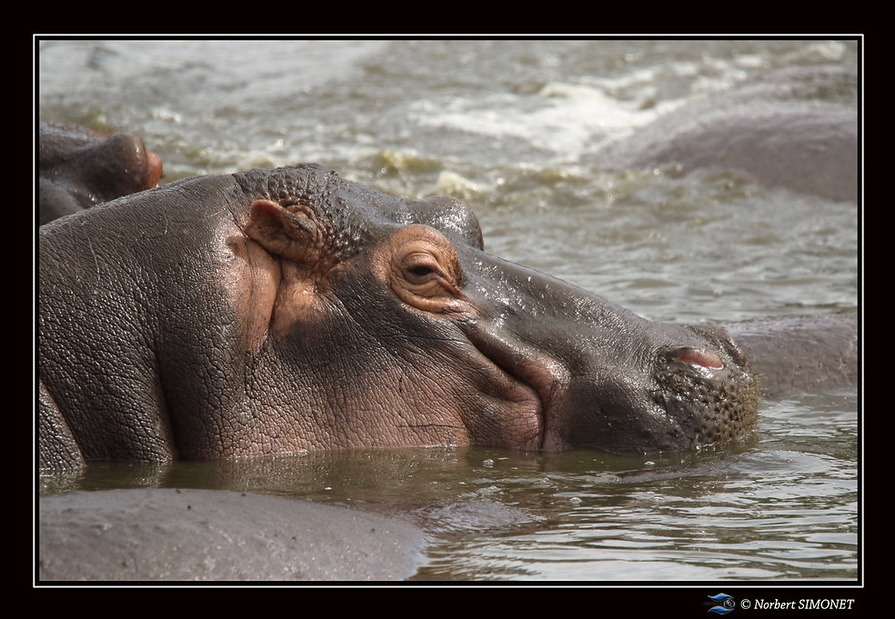 Hippopotame tête profil GP - Cadre Paysa