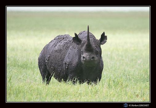 Rhinocéros_face_trois_quart_-_Cadre_Pay