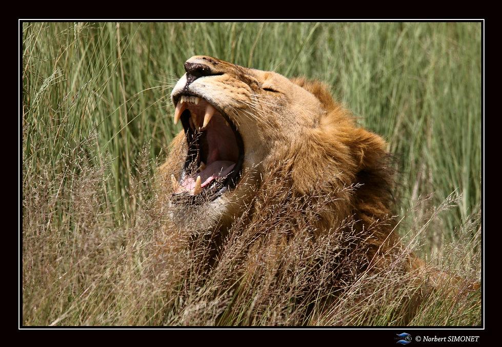 Lion gueule ouverte - Cadre Paysage - Pl
