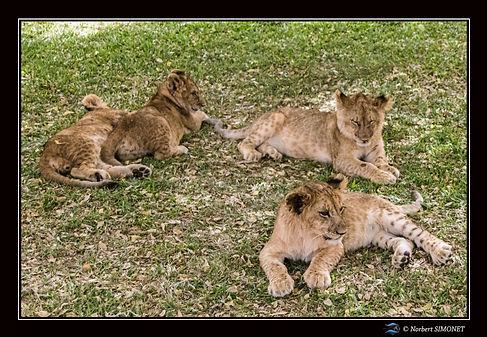 Lionceaux regroupés - Cadre Paysage - Ra