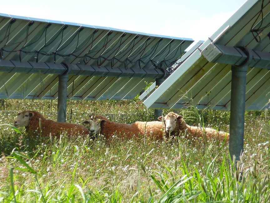 Sheep_under_solar_panel (1).jpg