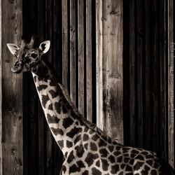 08 bis-Animals-Girafon
