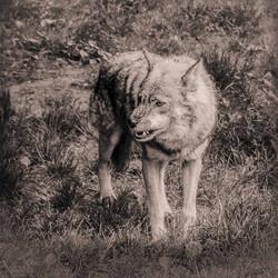 05-Animals-Loup-jpg