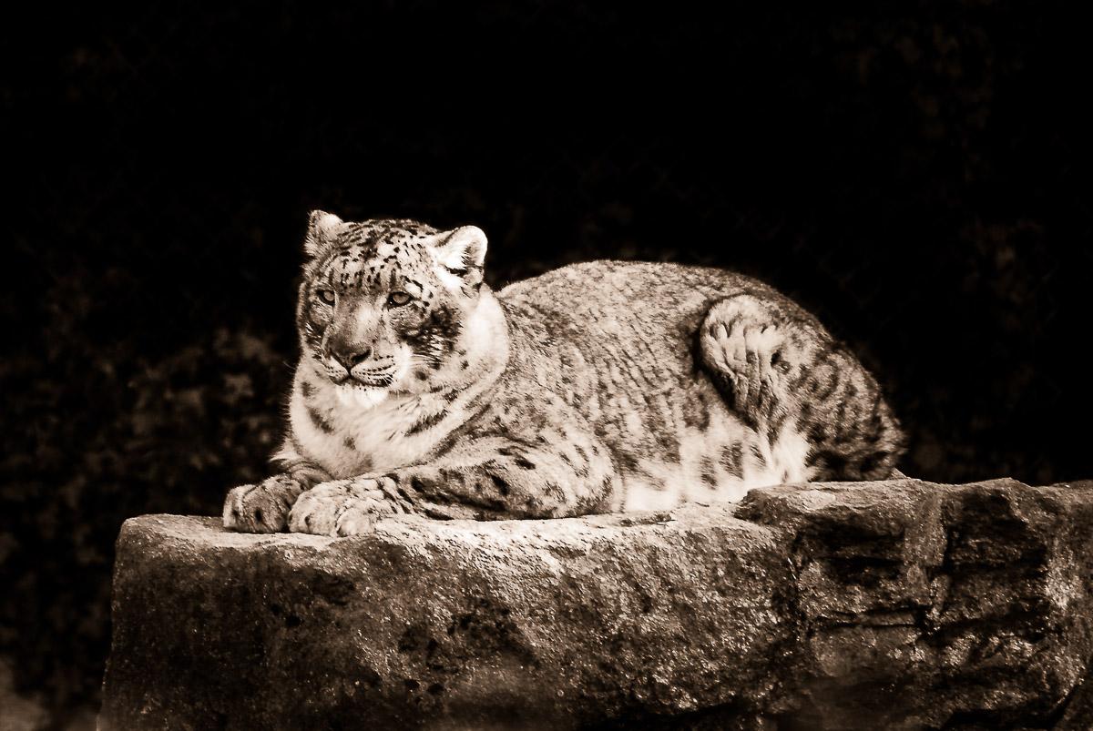 06-Animals-Panthère_des_neiges-jpg