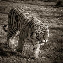 02-Animals-Tigre-jpg