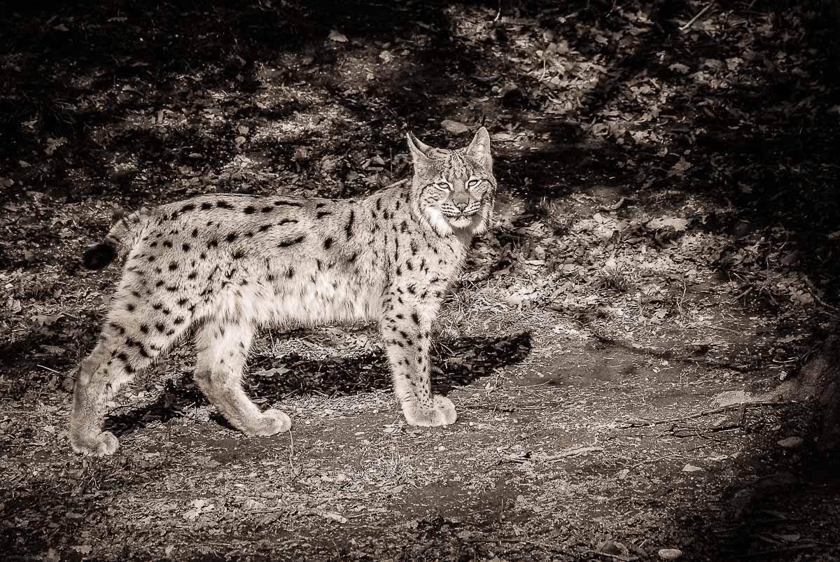 03-Animals-Lynx-jpg