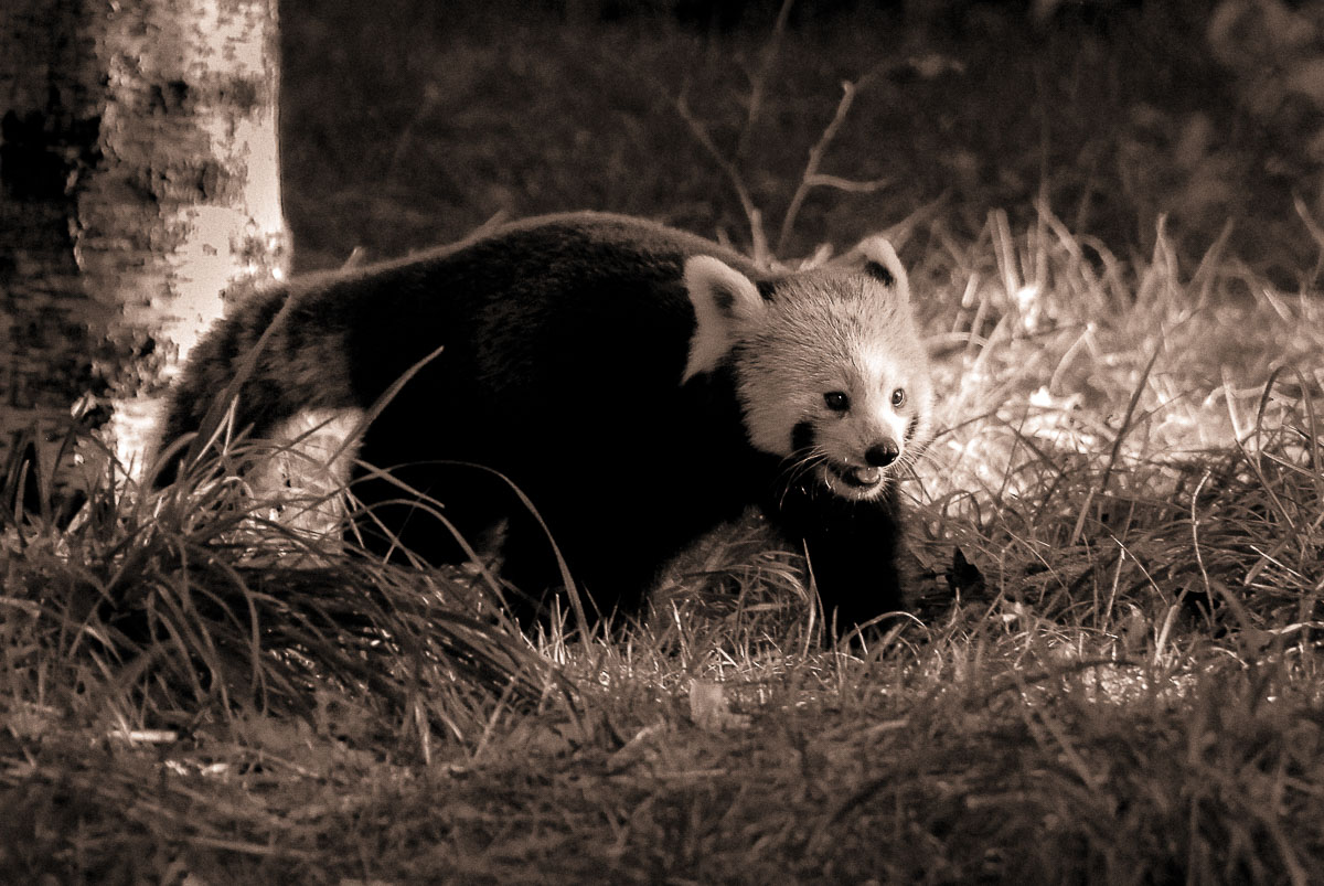 07-Animals-Panda roux_jpg