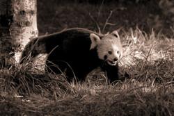 07-Animals-Panda roux_jpg