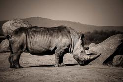 01-Animals-Rhinoféroce-jpg