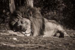 04-Animals-Lion-jpg