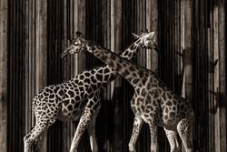 10-Animals-Girafes-jpg