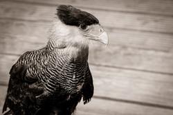 09bis-Animals- aigle-jpg