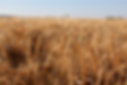 Image_Wheat Crop 2017.png