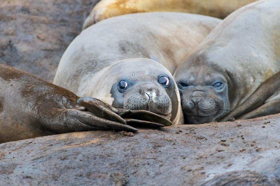 лежбище морских слонов