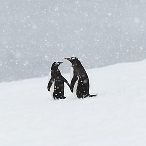 Penguin Gentoo. Antarctica