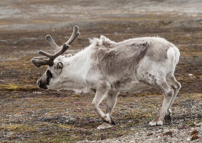 Северный олень. Арктика