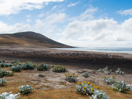 Лечу на Юг! Фолклендские острова.