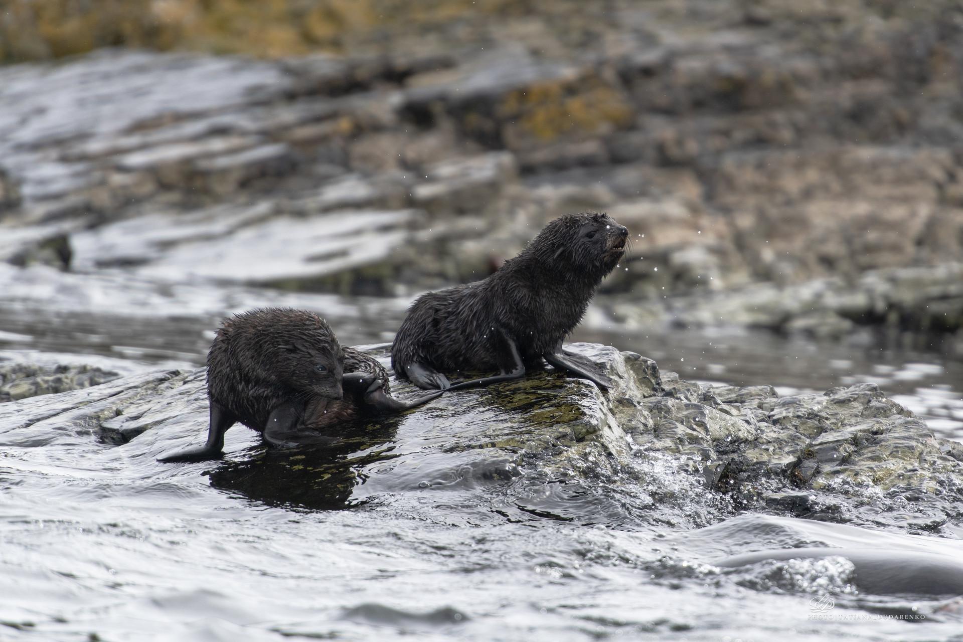 Детеныши морского котика