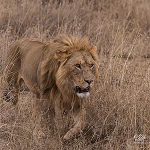 Львы и птицы Африки