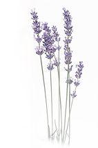 lavender-2452106_640.jpg