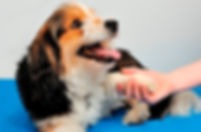 Shiatsu Bodyworks - Cheltenham - Shiatsu Dog Holistic Physical Therapy pain relief for your dog