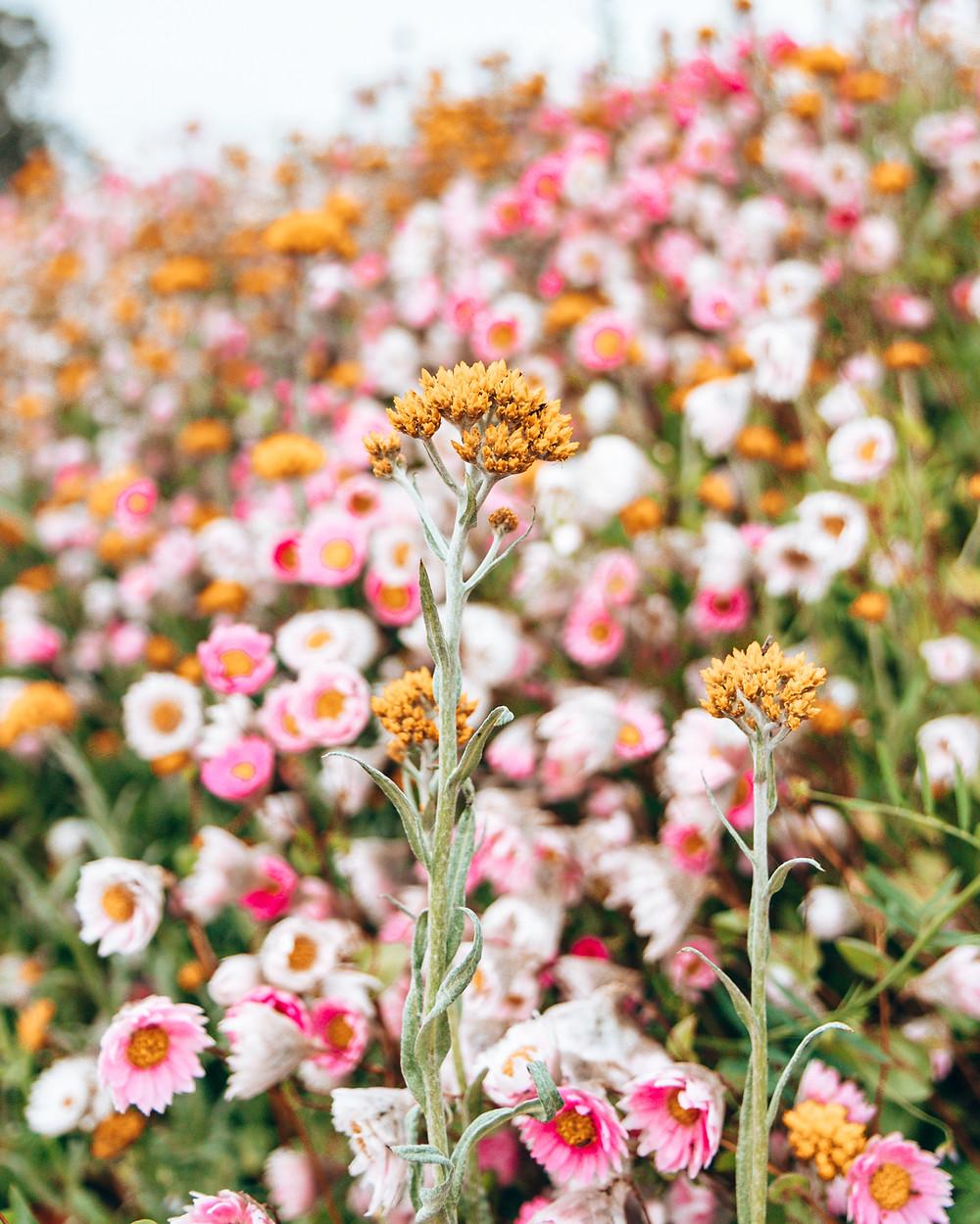 Paper Daisies at Mount Annan Australian Botanic Garden