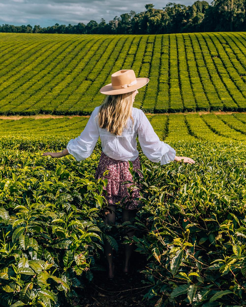 Nucifora Tea Plantation on the Atherton Tablelands in Tropical North Queensland