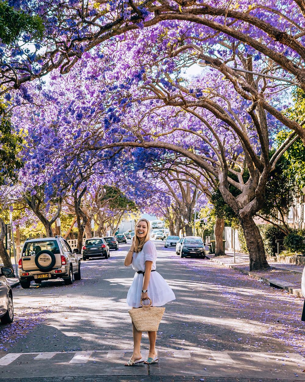 Jacaranda blooms in Kirribilli Sydney Australia