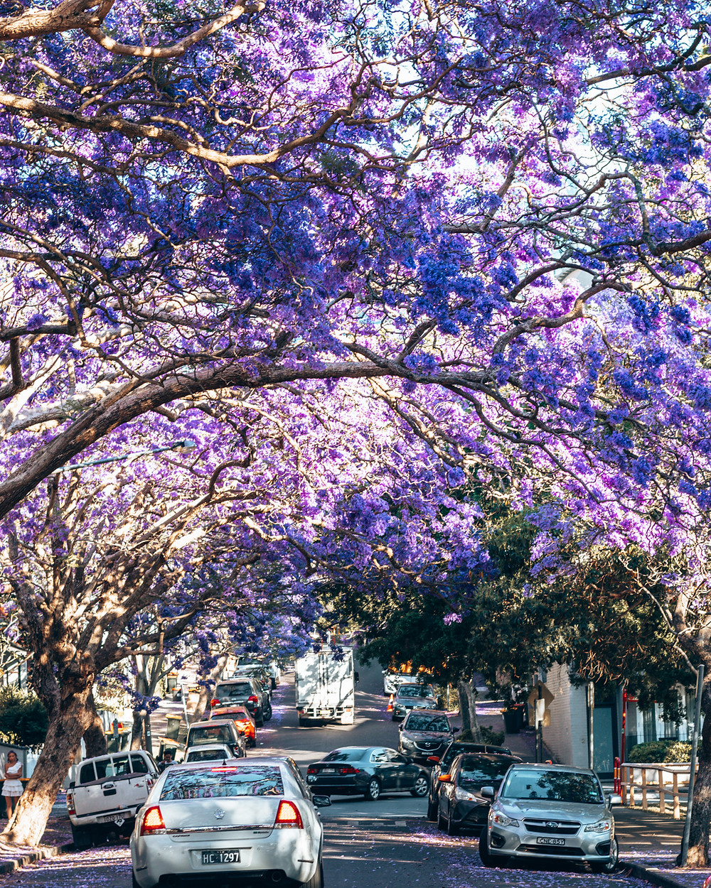 Jacaranda trees in bloom in Kirribilli Sydney