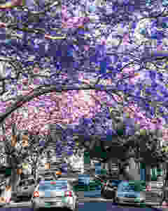 Jacaranda trees in bloom in Kirribilli Sydney