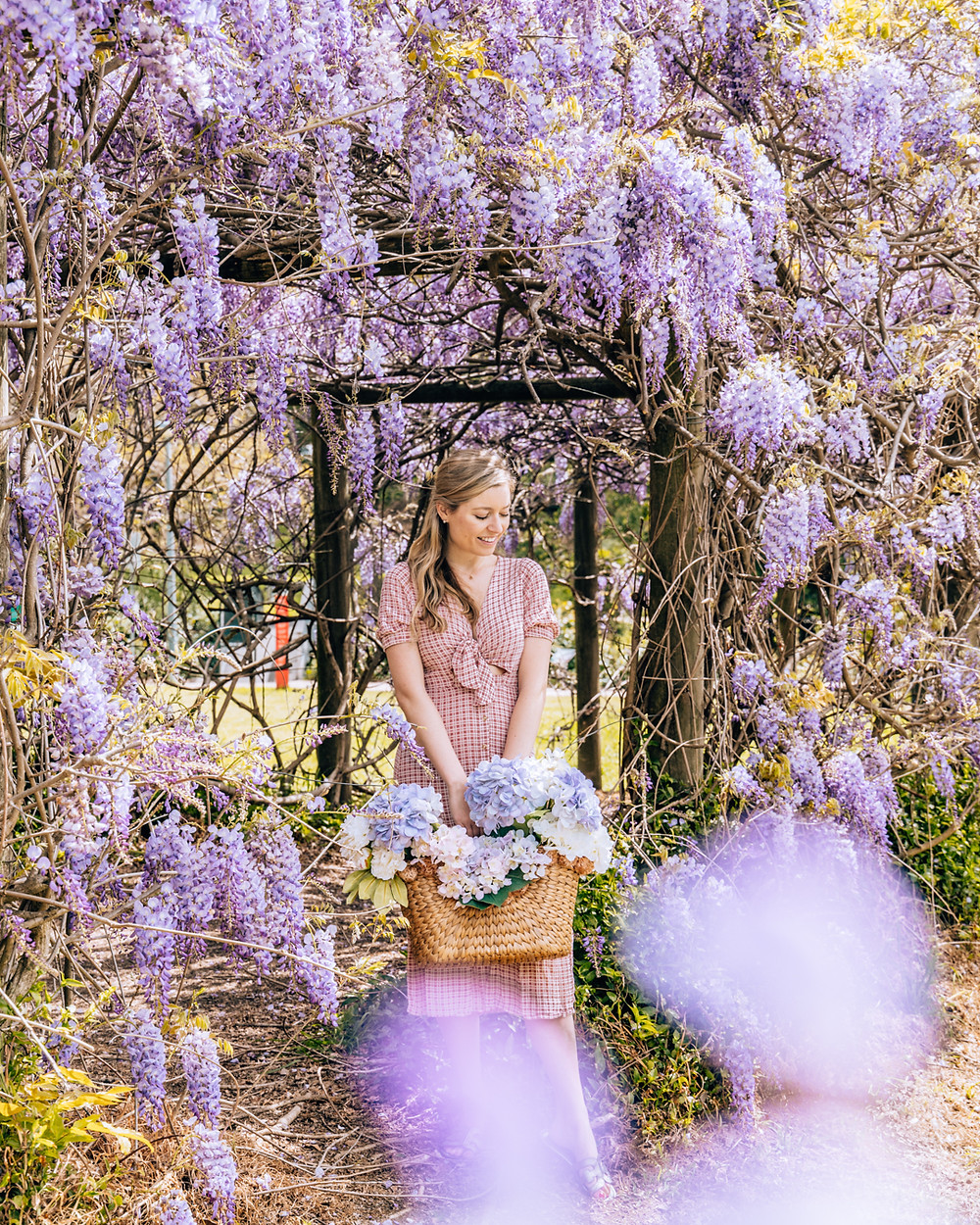 Wisteria at Muston Park. A beautiful display of spring flowers in Sydney, Australia