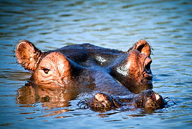 Chasin' Africa Hippo