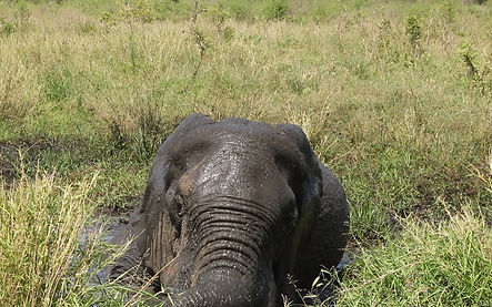 A bull elephant cooling off on a hot summers day