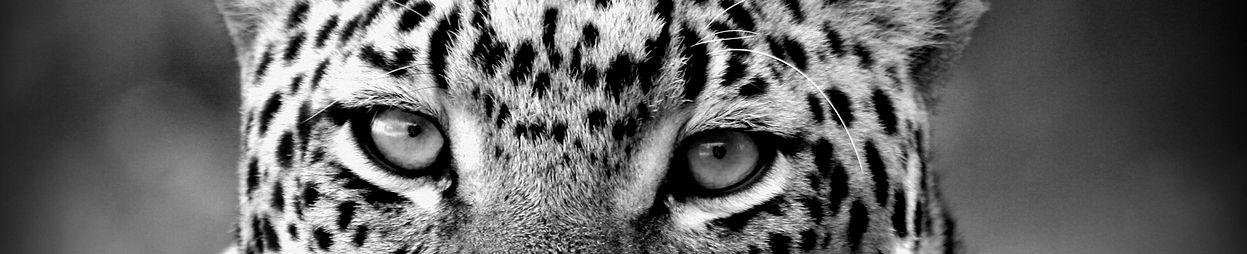 Homepage Leopard Eyes Website.jpg